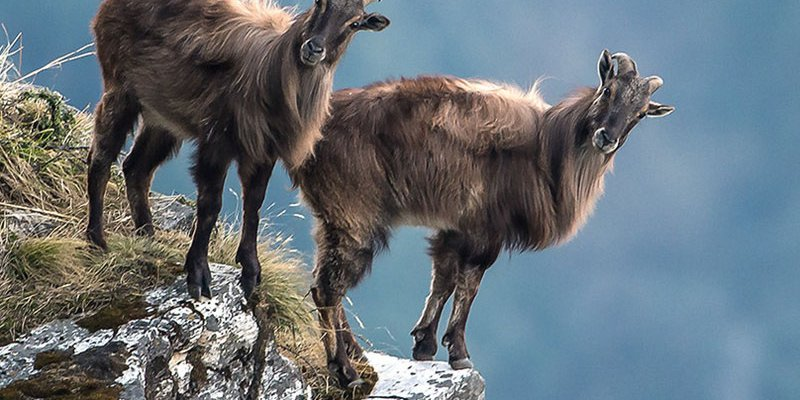 Two mountain goats standing on the edge of a cliff