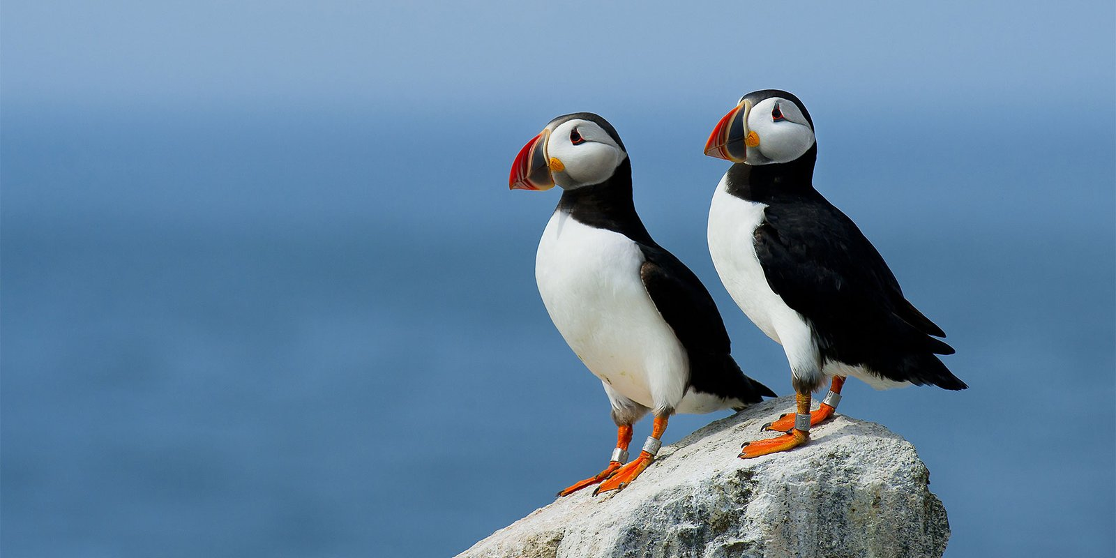 A pair of Puffin seabirds (known to mate for life)